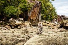 Affe sitzt auf Felsen auf der Insel von Borneo Stockbilder