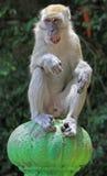 Affe sitzt auf grünem Bereich, Batu-Höhlen Stockfotos