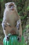 Affe sitzt auf grünem Bereich, Batu-Höhlen Stockfotografie