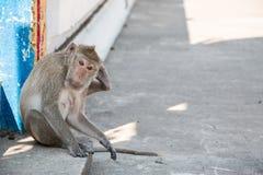 Affe sitzt im Tempel, leben große Gruppe Affen im Tempel und im Wald in Thailand Lizenzfreies Stockfoto