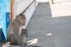 Affe sitzt im Tempel, leben große Gruppe Affen im Tempel und im Wald in Thailand Lizenzfreies Stockbild