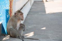 Affe sitzt im Tempel, leben große Gruppe Affen im Tempel und im Wald in Thailand Lizenzfreie Stockfotos