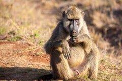 Affe sitzt, Savanne von Kenia, Safari Lizenzfreie Stockbilder