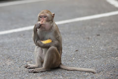 Affe sitzt und isst Lizenzfreies Stockbild