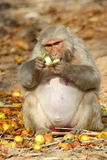 Affe sitzt und isst Frucht, Indien Stockbild