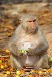 Affe sitzt und isst Frucht, Indien Stockfotografie