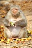Affe sitzt und isst Frucht, Indien Stockbilder
