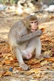 Affe sitzt und isst Frucht, Indien Lizenzfreies Stockfoto
