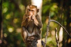 Affe sitzt und isst Orange Lizenzfreies Stockfoto