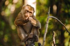 Affe sitzt und isst Orange Lizenzfreie Stockbilder