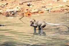 Affe spielten Pool in den tropischen Wäldern Lizenzfreies Stockbild
