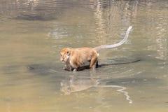 Affe spielten Pool in den tropischen Wäldern Stockbilder