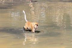 Affe spielten Pool in den tropischen Wäldern Stockfotografie