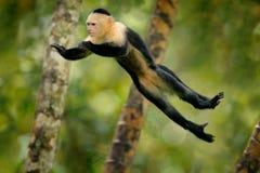 Affe springen Säugetier in der Fliege Fliegender schwarzer Affe Weiß-köpfiger Capuchin, tropisches Waldtier im Naturlebensraum, h Lizenzfreies Stockfoto
