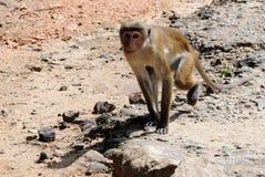 Affe in Sri Lanka Lizenzfreie Stockbilder