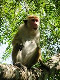 Affe in Sri Lanka Lizenzfreie Stockfotografie