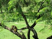 Affe in Sri Lanka Lizenzfreie Stockfotos