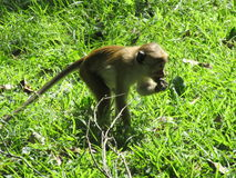 Affe in Sri Lanka Stockfotos