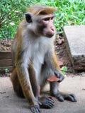 Affe in Sri Lanka Stockbild