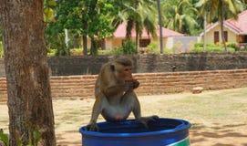 Affe Sri Lankan Stockbild