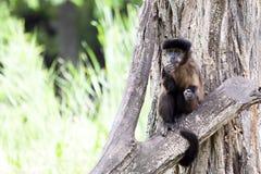 Affe steht auf einem Baum und schaut herum Lizenzfreie Stockfotografie