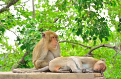 Affe sucht nach einer Zecke zum weiblichen Affen Stockfotografie