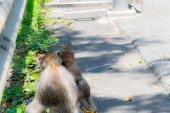 Affe sucht nach Läusen Lizenzfreie Stockfotos
