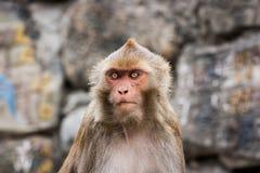 Affe am Swayambunath-Tempel, Kathmandu, Nepal Stockfotos