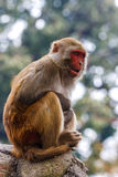 Affe am Swayambunath-Tempel, Kathmandu, Nepal Stockfotografie