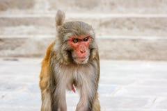Affe am Swayambunath-Tempel, Kathmandu, Nepal Stockbild