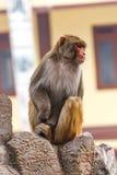 Affe am Swayambunath-Tempel, Kathmandu, Nepal Lizenzfreies Stockfoto