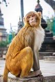 Affe am Swayambunath-Tempel, Kathmandu, Nepal Stockbilder