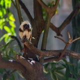 Affe Tamarin, der auf einem Baum sitzt Lizenzfreie Stockfotografie