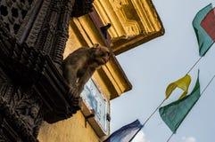 Affe, Taube und Gebets-Flaggen am Affe-Tempel Swayambhunath in Kathmandu Stockfoto