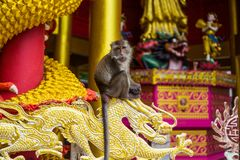 Affe in Thailand - Tempelansicht stockfotos