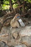 Affe in Thailand, Thailand Stockfotos