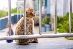 Affe, Touristen beobachtend Lizenzfreie Stockfotos