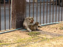 Affe trägt ein Baby in Phra Prang Sam Yod Stockfotos