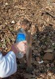 Affe trinkt Wasser auf der Insel Koh Ped Stockfotos