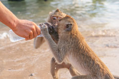 Affe trinkt Wasser von einer Flasche Lizenzfreie Stockfotos