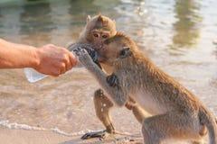 Affe trinkt Wasser von einer Flasche Lizenzfreie Stockfotografie