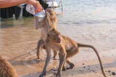 Affe trinkt Wasser von einer Flasche Stockbild