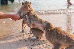 Affe trinkt Wasser von einer Flasche Stockfotografie