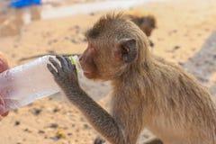 Affe trinkt Wasser von einer Flasche Stockbilder