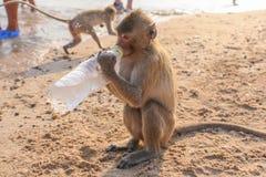 Affe trinkt Wasser von einer Flasche Lizenzfreies Stockfoto