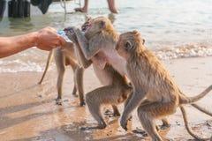 Affe trinkt Wasser von einer Flasche Stockfoto