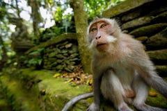 Affe in Ubud Bali Lizenzfreie Stockfotos