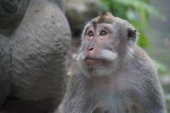 Affe, Ubud, Indonesien Stockfoto