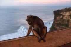 Affe an Uluwatu-Tempel - Bali Indonesien Lizenzfreie Stockfotos