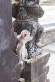 Affe in Uluwatu-Tempel, Bali-Insel Stockfotografie